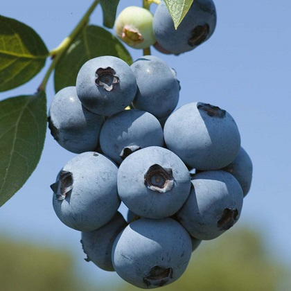 Cluster of blueberries