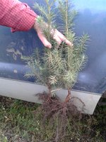 Conifer seedling
