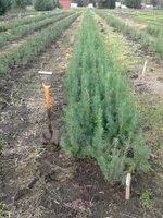 Conifers seedlings